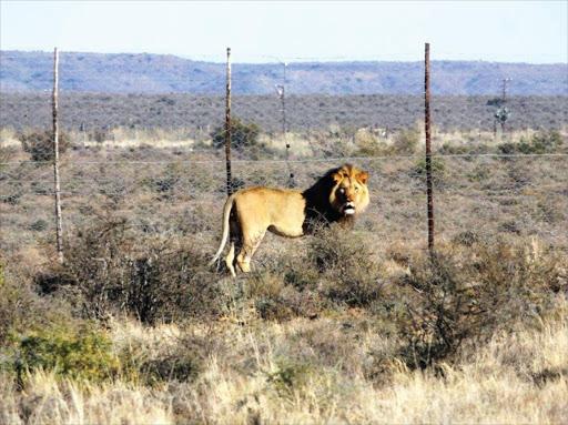 lion Times live